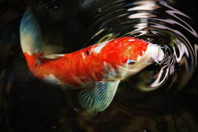 อาหารปลาคาร์ฟเร่งโต saiteki